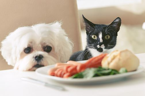 A white small dog and kitten eyeing a plate of human food on a table.