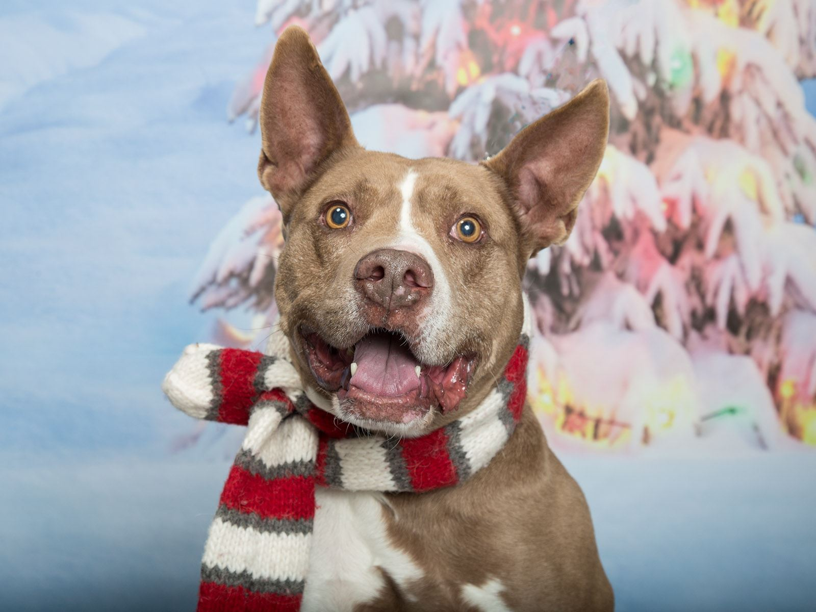 A shelter dog dressed in a holiday scarf