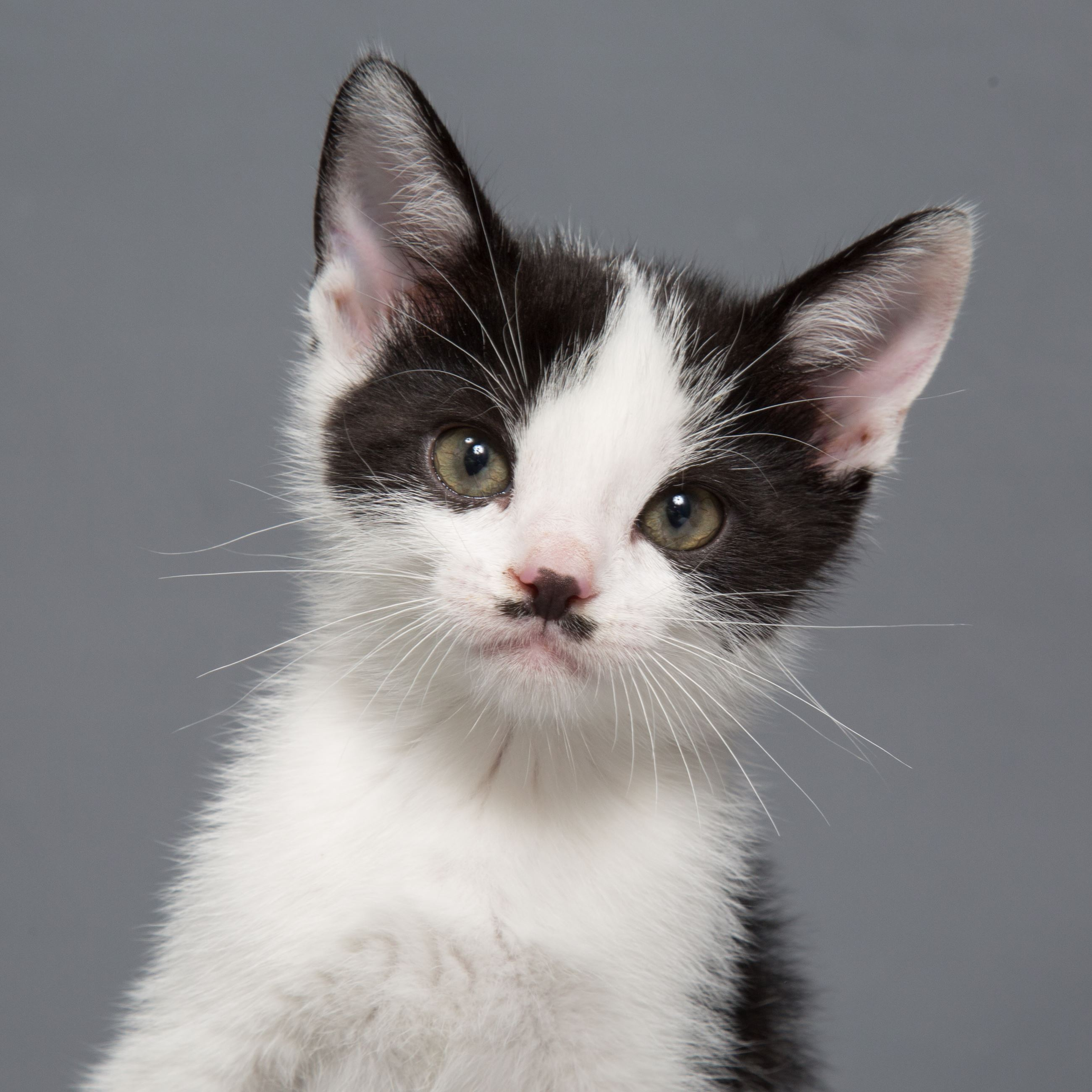 A black and white kitten with a curly mustache