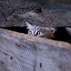 A fearful cat peering out from wooden boards from an old house.